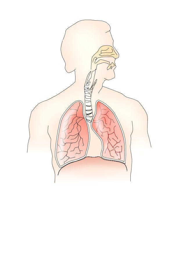 Bild Atmungssystem - Abb. 10686