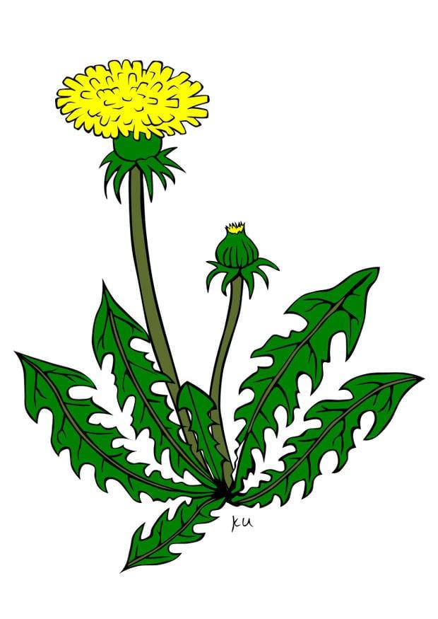 bild pusteblume  kostenlose bilder zum ausdrucken  bild