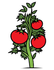 Bild Tomatenpflanze