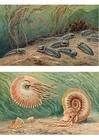 Bild Trilobiten und Ammonoide