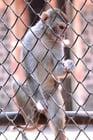 Foto Affe in Gefangenschaft