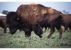 Foto amerikanisches Bison