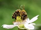 Foto Biene auf Blume