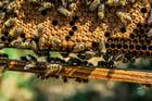 Foto Bienen