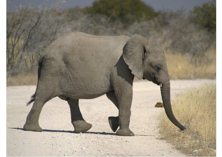 foto elefant - kostenlose fotos zum ausdrucken - bild 7293.