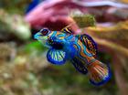 Foto Fisch - Synchiropus Splendidus