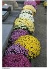 Foto Friedhof - Chrysanthemen