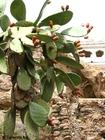Foto Kaktus mit Früchten
