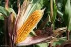 Foto Maispflanze