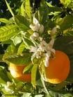Foto Orangen mit Orangenblüten