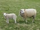 Foto Schaf mit Lamm