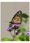 Foto Schmetterling 2
