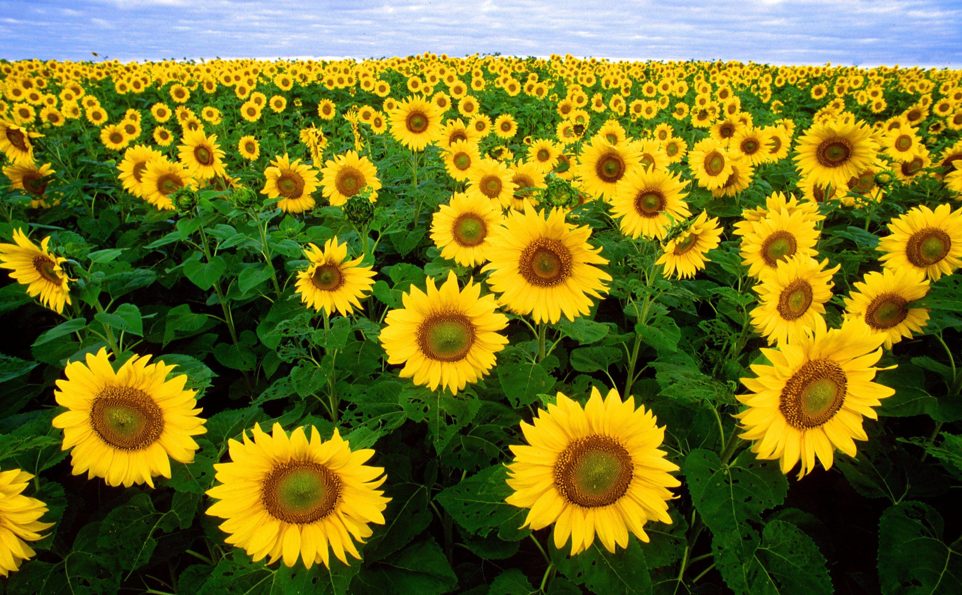 foto sonnenblumen  kostenlose fotos zum ausdrucken  bild
