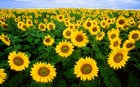 Foto Sonnenblumen