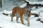 Foto Tiger im Schnee