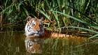 Foto Tiger im Wasser