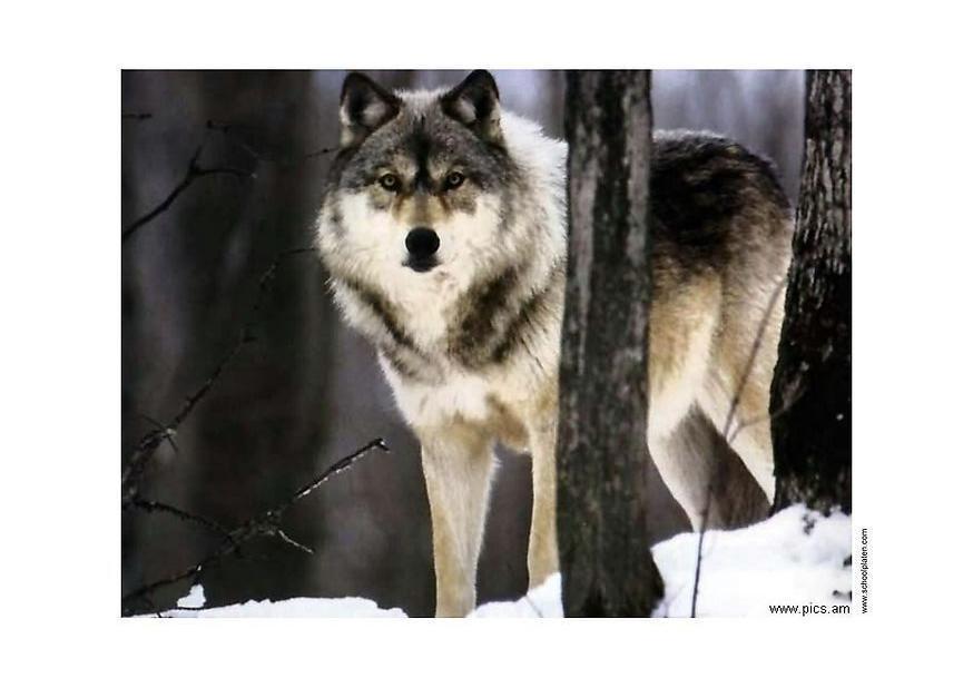 Foto Wolf - Kostenlose Fotos Zum Ausdrucken.