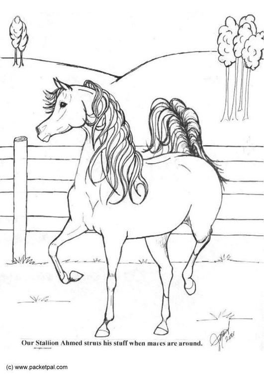 Ausmalbilder Ostwind: Malvorlage Achmed Pferd