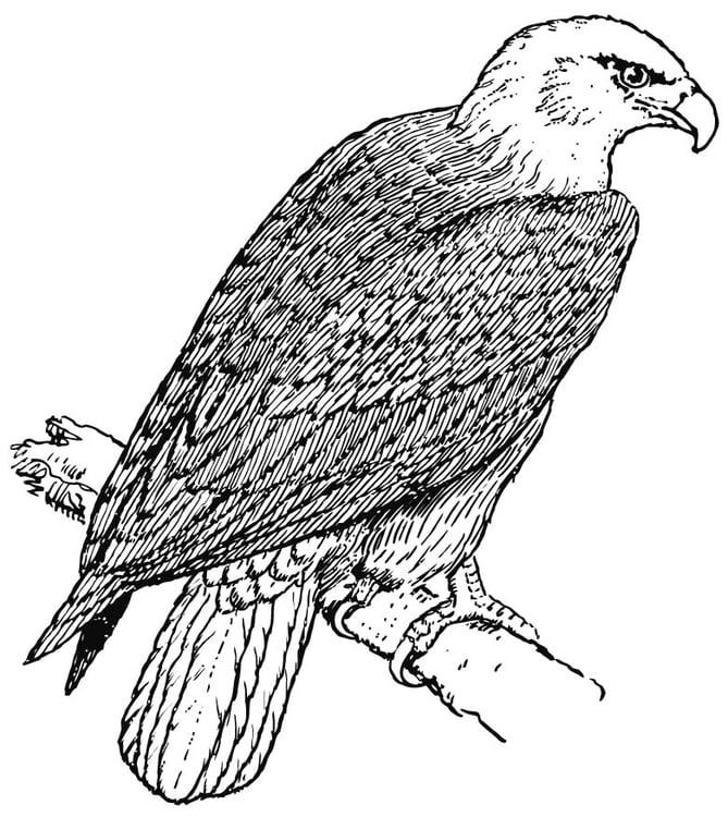 Malvorlage Adler | Ausmalbild 15695.