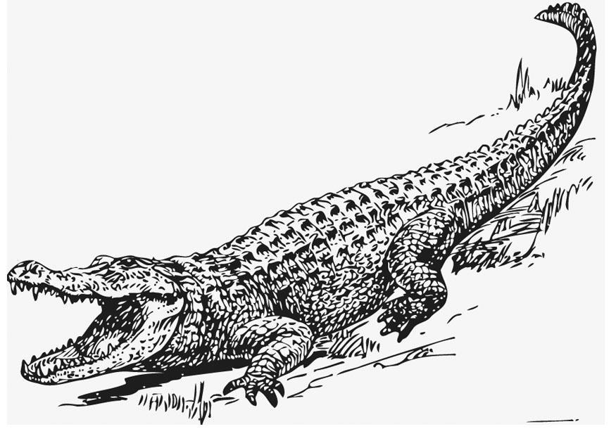 Malvorlage Alligator | Ausmalbild 13209.