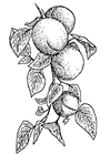 Malvorlage  Aprikosen