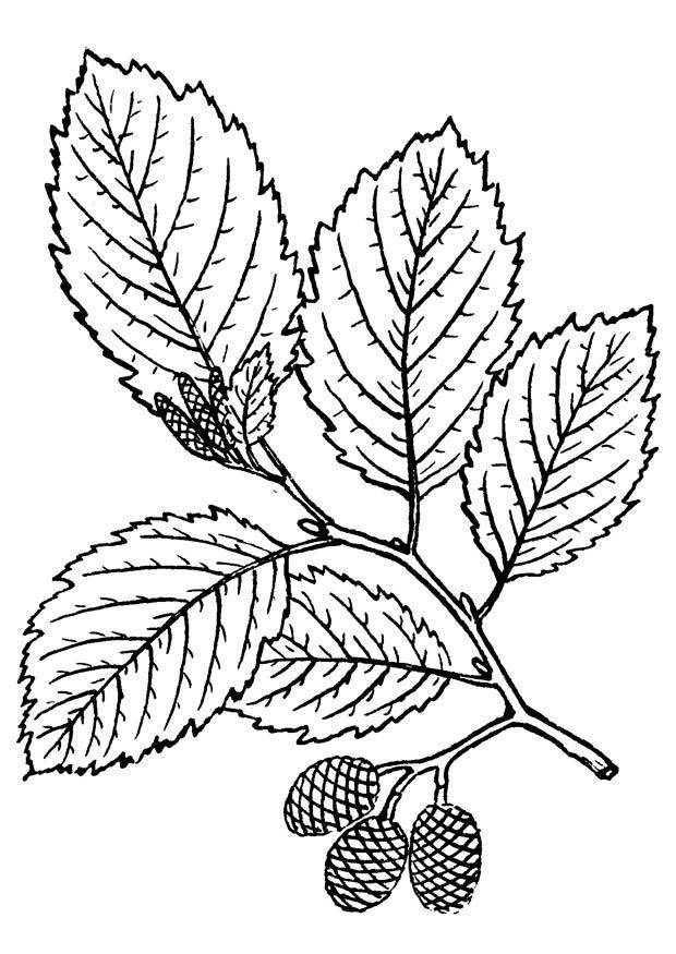 Malvorlage Baum - Erle | Ausmalbild 18816.