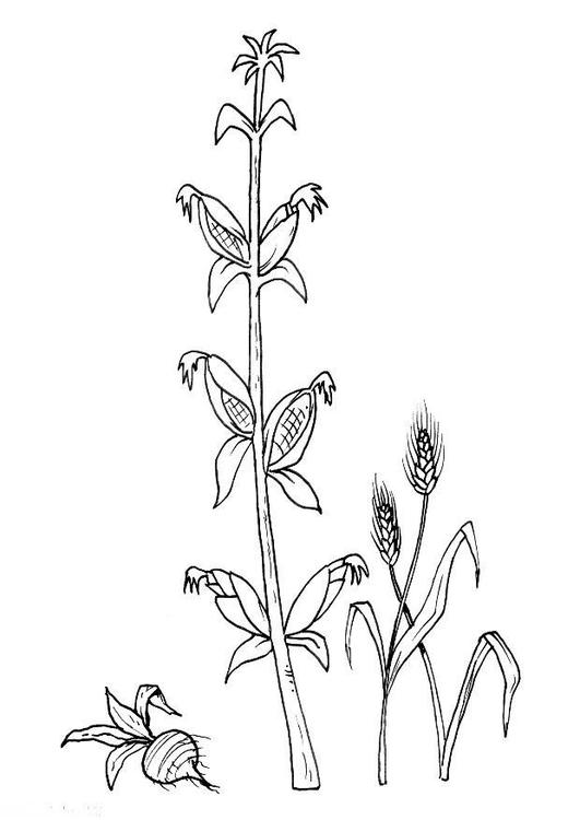 Malvorlage Bete Mais Weizen | Ausmalbild 8217.