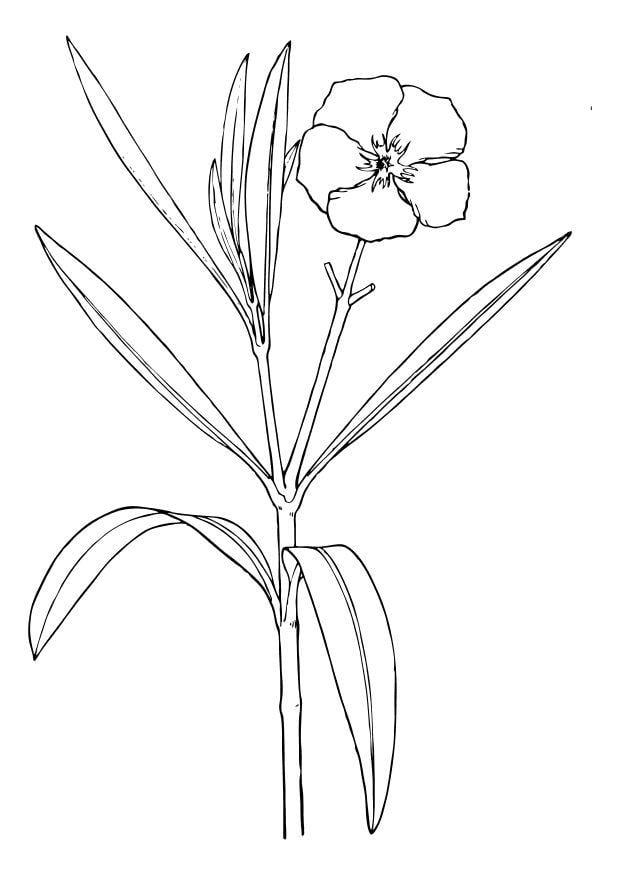 malvorlage blume  oleander  kostenlose ausmalbilder zum