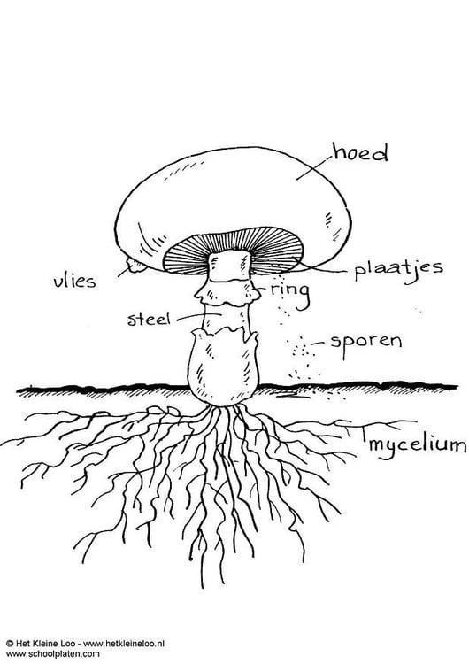 malvorlage champignon