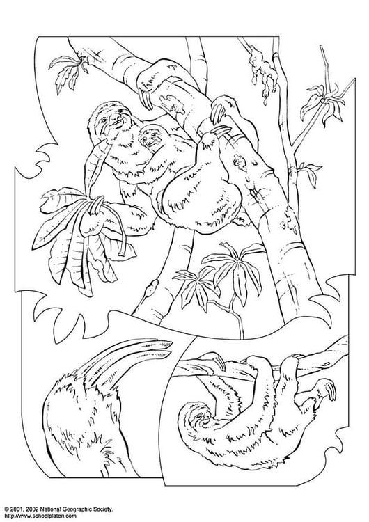Malvorlage Faultier | Ausmalbild 3068.