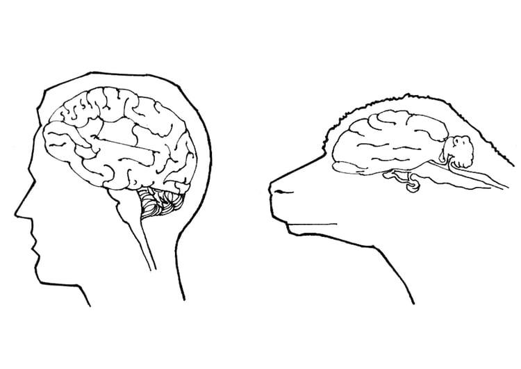 Malvorlage Gehirn Von Mensch Und Schaf Ausmalbild 18983 Images