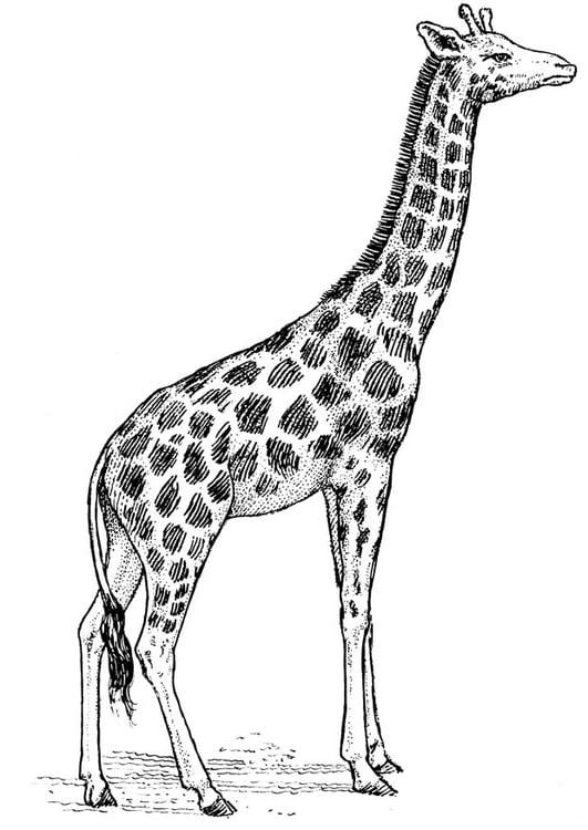Malvorlage Giraffe Ausmalbild 16637