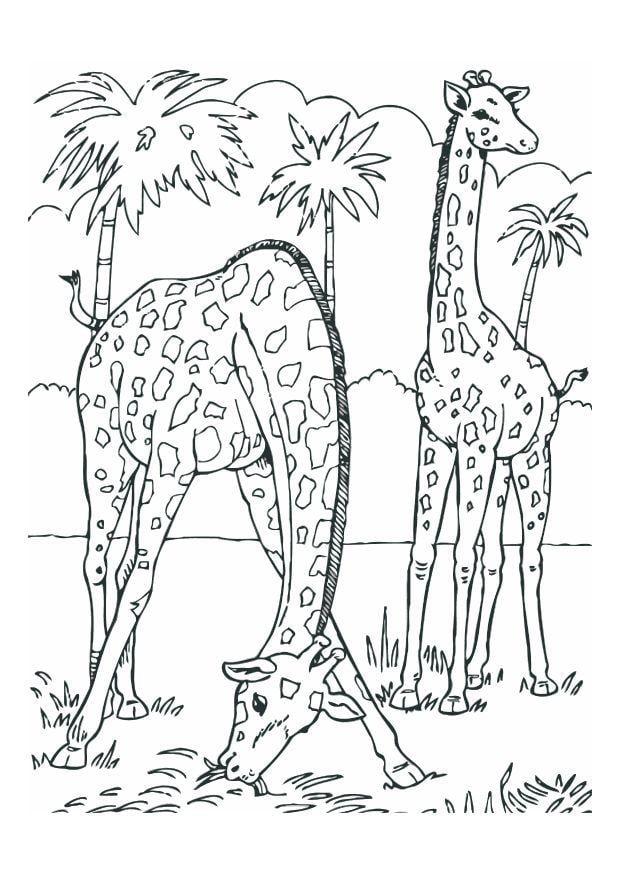 malvorlage giraffen  kostenlose ausmalbilder zum