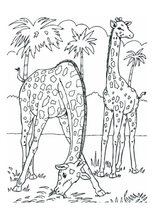 Malvorlage Giraffen Ausmalbild 12534
