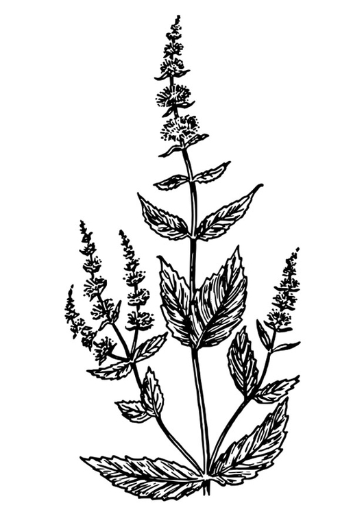 Free Herb Coloring Pages