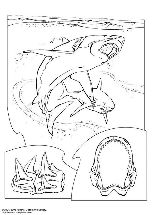 Malvorlage Haifisch | Ausmalbild 3062.