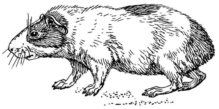 Malvorlage Hamster | Ausmalbild 15733.