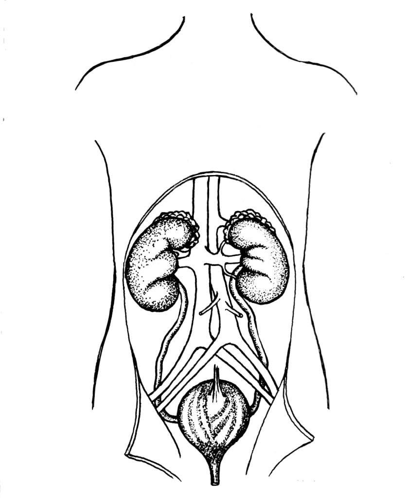 Malvorlage Harnsystem, Nieren und Blase | Ausmalbild 16022.