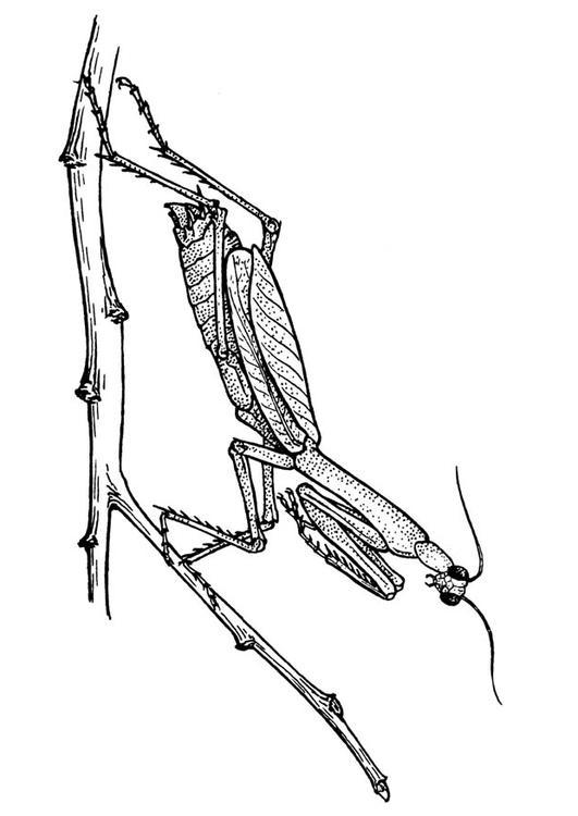 Malvorlage Heuschrecke - Gottesanbeterin | Ausmalbild 18918.