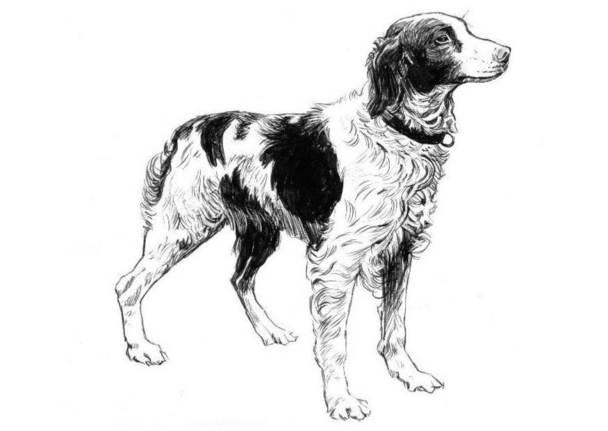 malvorlage hund  cockerspaniel  kostenlose ausmalbilder