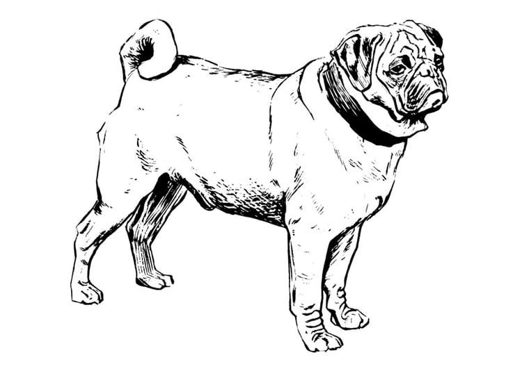 Malvorlage Hund   Mops | Ausmalbild 22749.