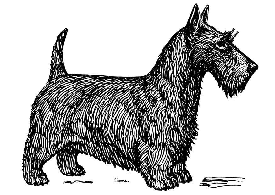 malvorlage hund  schottischer terrier  kostenlose