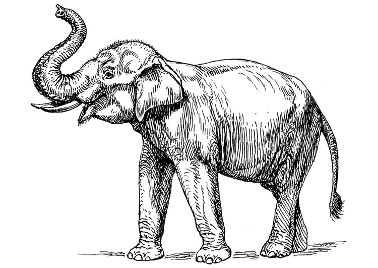Malvorlage indischer Elefant | Ausmalbild 16646.