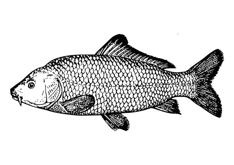 Malvorlage Karpfen | Ausmalbild 18581.