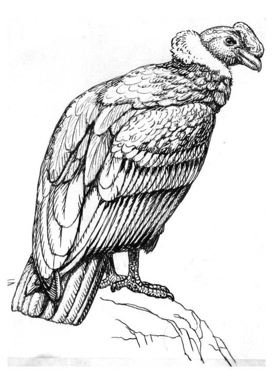 malvorlage kondor  ausmalbild 16622