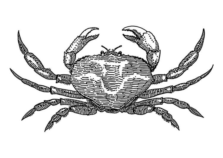 Malvorlage Krabbe | Ausmalbild 18568.