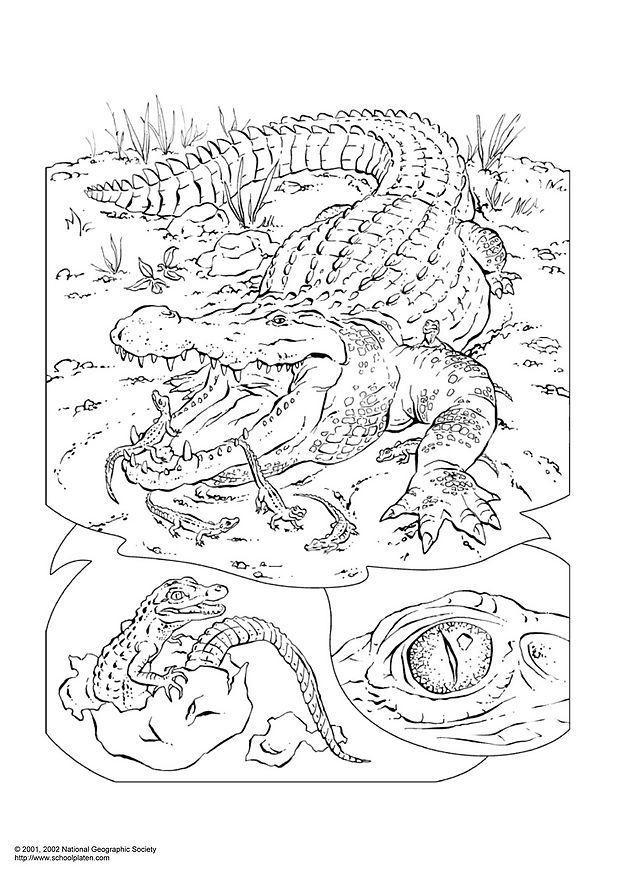 ausmalbilder krokodil