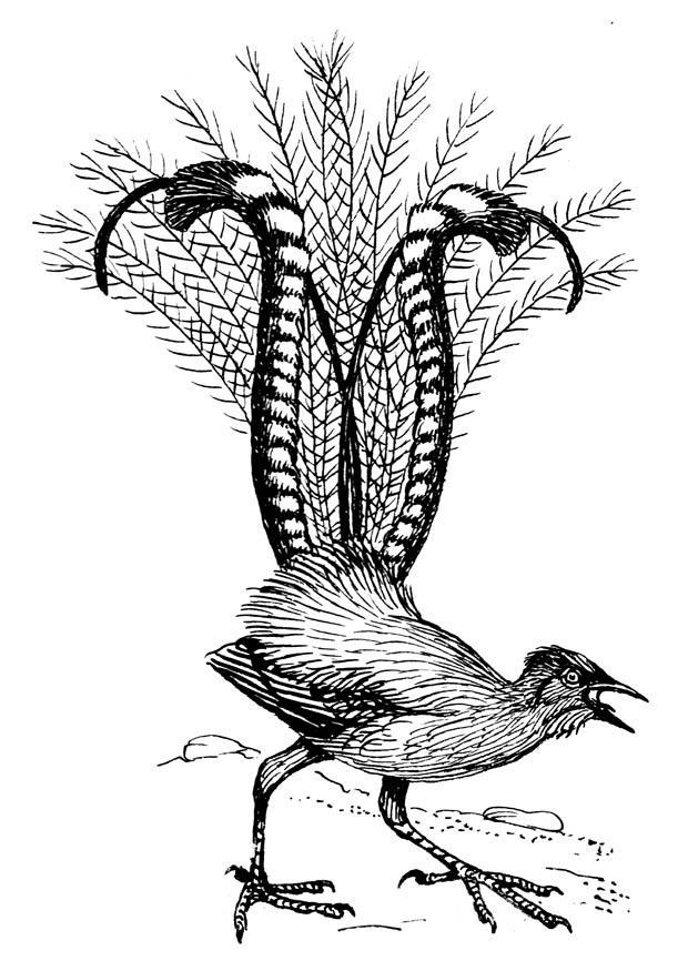 malvorlage leierschwanz  ausmalbild 18847