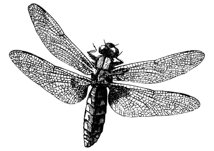 Malvorlage Libelle Ausmalbild 27982