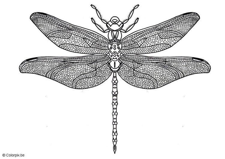 Malvorlage Libelle Ausmalbild 5689